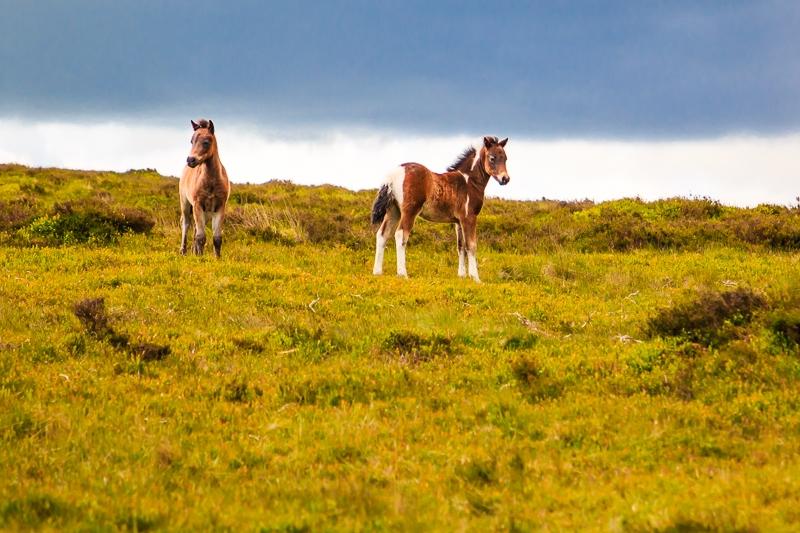 Wilde Ponys im Dartmoor