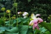 Lotusblumen-Teich